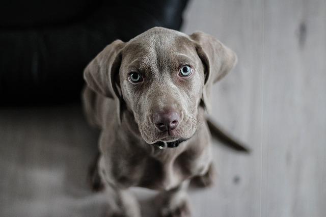 Posiadanie psa w Holandii